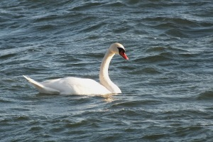 Mute-Swan-swimming-lake-ontario