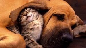 a-free_cat_sleeping_under_dog_ear_picture